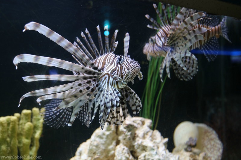gulfarium florida lion fish