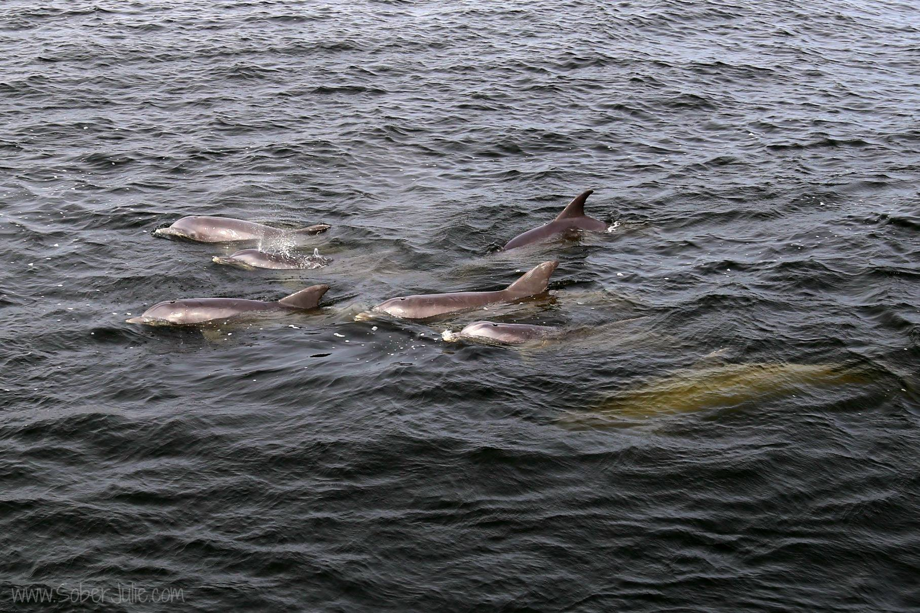 school of dolphins florida