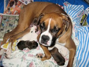 Boxer Breeding