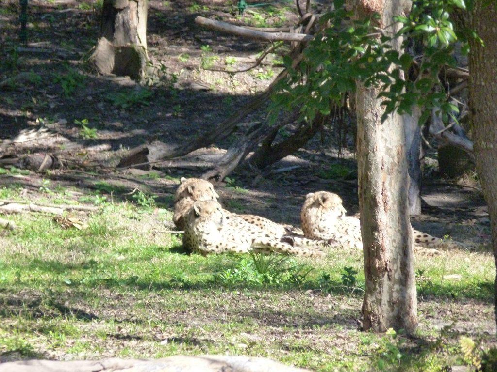 Tigers at Animal Kingdom