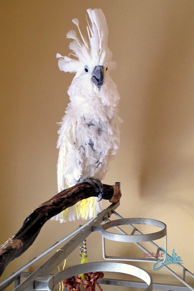 angie cockatoo