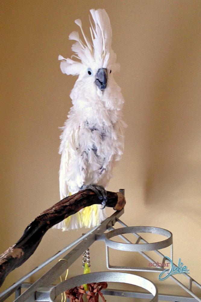 angie cockatoo