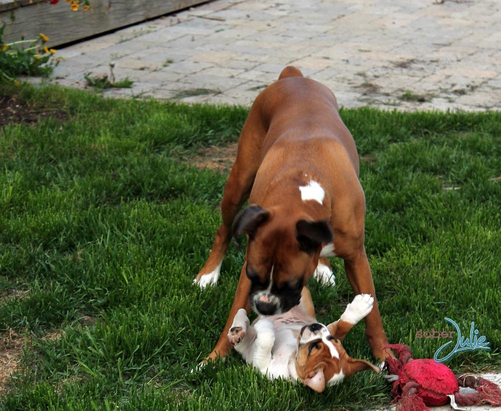 boxer bulldog playing