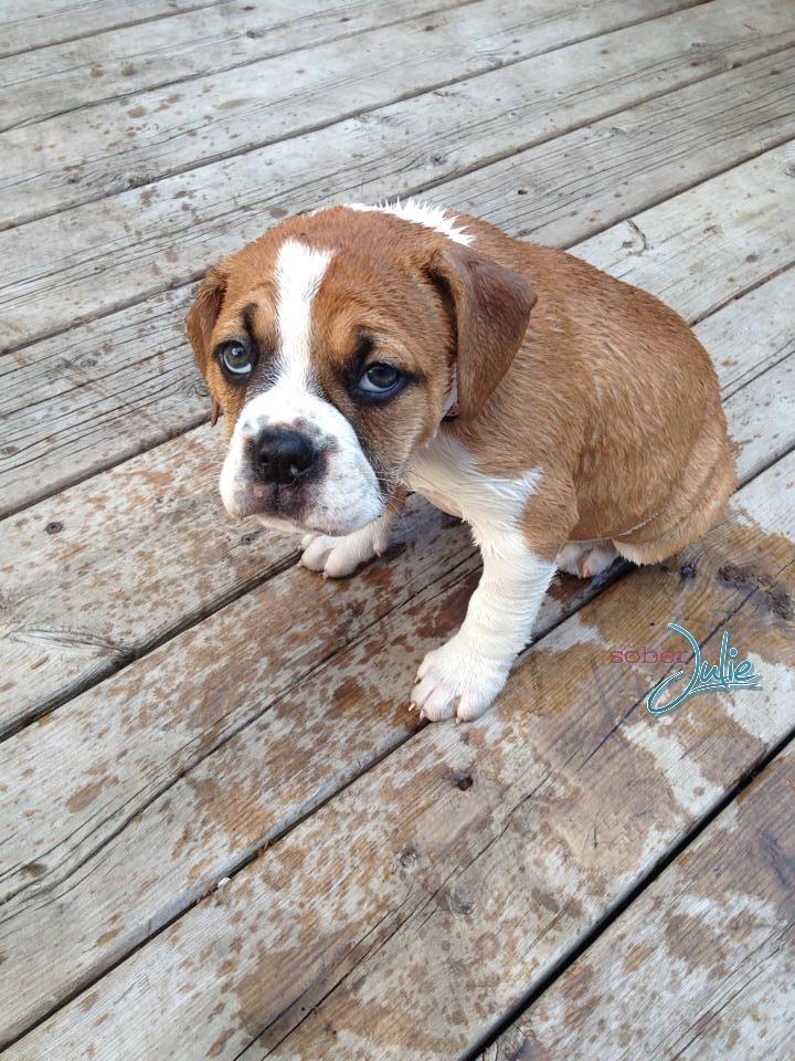 bulldog puppy sad