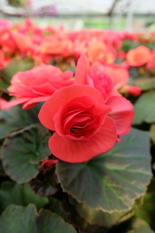 soberjulie-fuji-x-a2-review-macro-red-flower